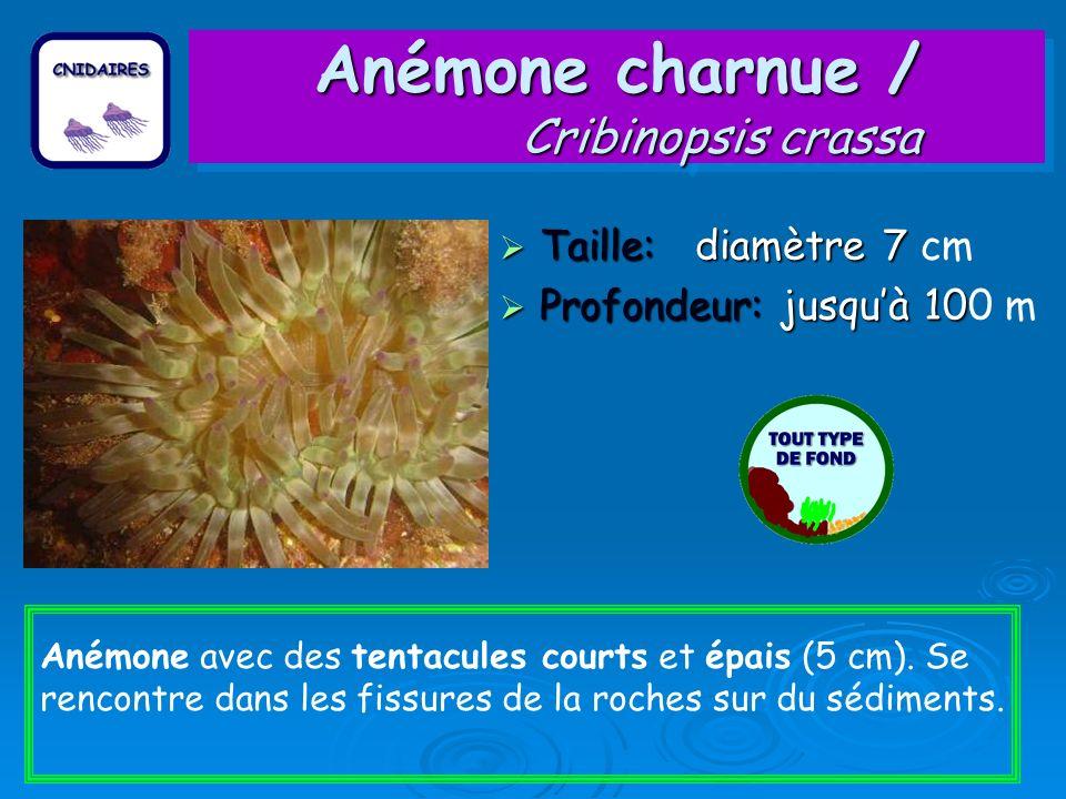 Anémone charnue / Cribinopsis crassa Taille: diamètre 7 Taille: diamètre 7 cm Profondeur: jusquà 10 Profondeur: jusquà 100 m Anémone avec des tentacul