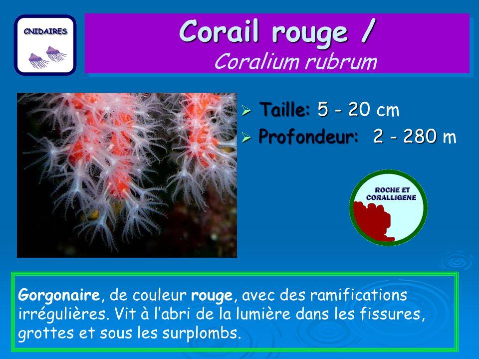 Corail rouge / Corail rouge / Coralium rubrum Taille: 5 - 2 Taille: 5 - 20 cm Profondeur: 2 - 280 Profondeur: 2 - 280 m Gorgonaire, de couleur rouge,