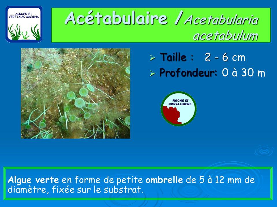 Acétabulaire / Acetabularia acetabulum Taille : 2 - 6 Taille : 2 - 6 cm Profondeur: Profondeur: 0 à 30 m Algue verte en forme de petite ombrelle de 5