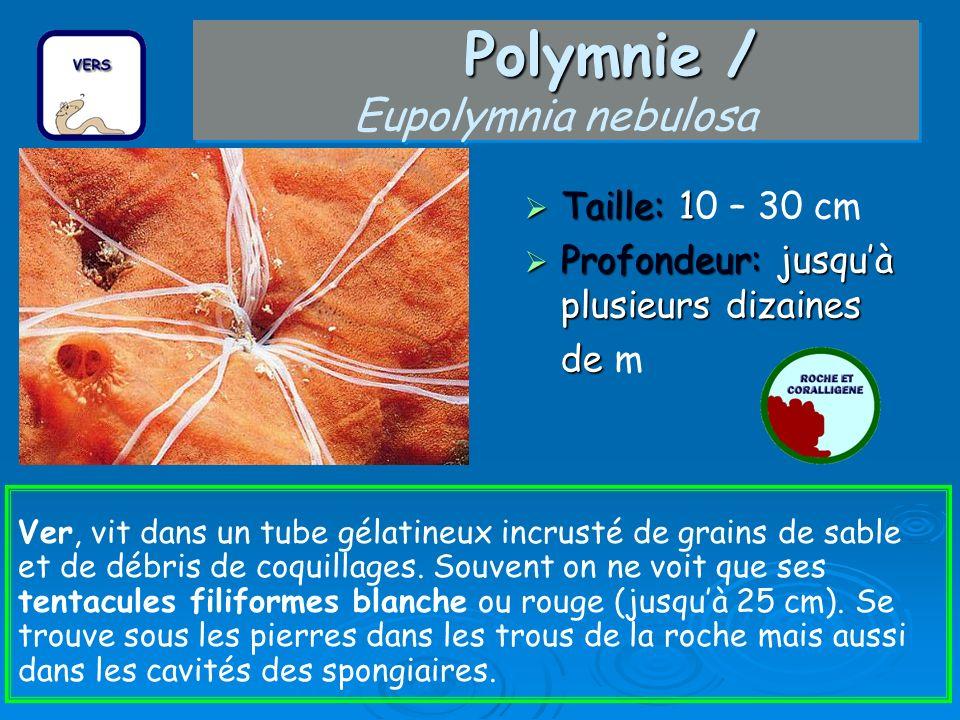 Polymnie / Polymnie / Eupolymnia nebulosa Taille: 1 Taille: 10 – 30 cm Profondeur: jusquà plusieurs dizaines Profondeur: jusquà plusieurs dizaines de