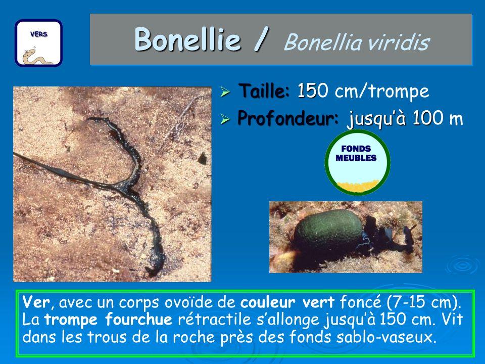 Bonellie / Bonellie / Bonellia viridis Taille: 15 Taille: 150 cm/trompe Profondeur: jusquà 10 Profondeur: jusquà 100 m Ver, avec un corps ovoïde de co
