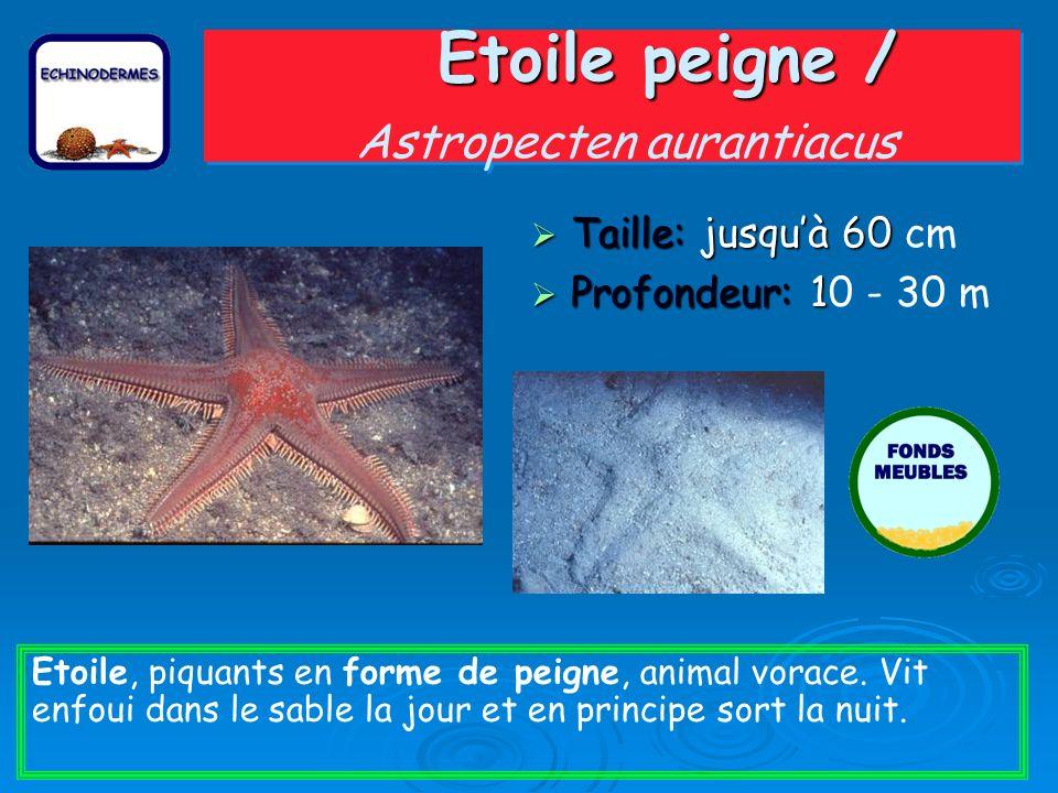 Etoile peigne / Etoile peigne / Astropecten aurantiacus Taille: jusquà 60 Taille: jusquà 60 cm Profondeur: 1 Profondeur: 10 - 30 m Etoile, piquants en