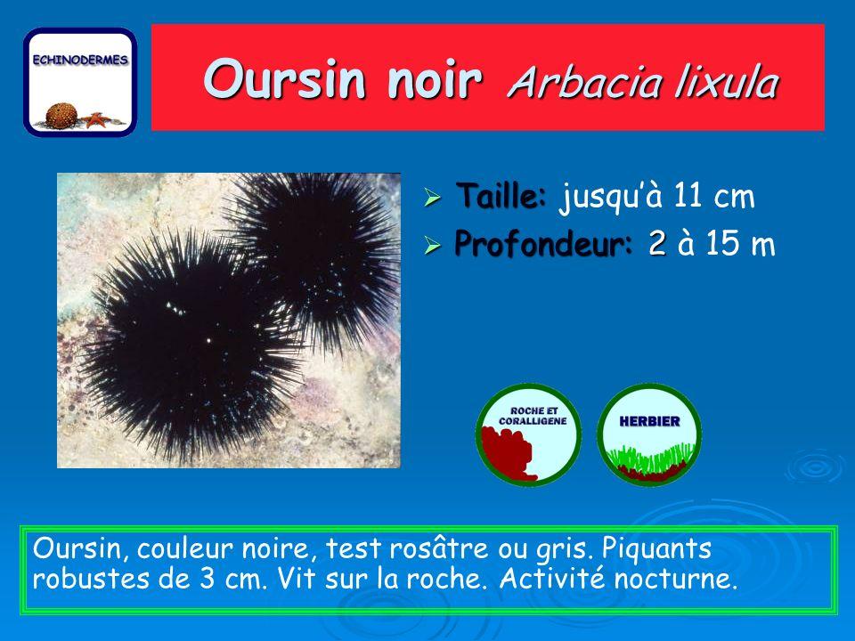 Oursin noir Arbacia lixula Taille: Taille: jusquà 11 cm Profondeur: 2 Profondeur: 2 à 15 m Oursin, couleur noire, test rosâtre ou gris. Piquants robus
