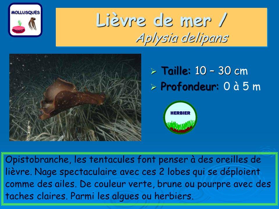 Lièvre de mer / Aplysia delipans Taille: 10 – 30 c Taille: 10 – 30 cm Profondeur: Profondeur: 0 à 5 m Opistobranche, les tentacules font penser à des