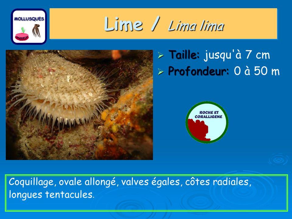 Taille: Taille: jusqu'à 7 cm Profondeur: Profondeur: 0 à 50 m Coquillage, ovale allongé, valves égales, côtes radiales, longues tentacules. Lime / Lim