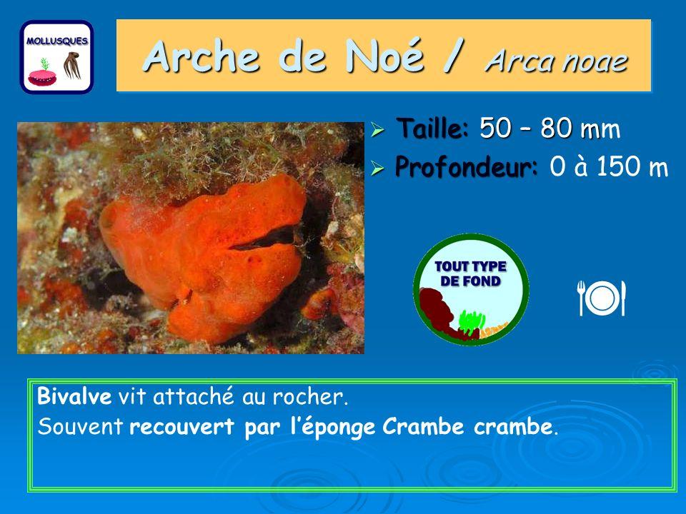 Arche de Noé / Arca noae Taille: 50 – 80 m Taille: 50 – 80 mm Profondeur: Profondeur: 0 à 150 m Bivalve vit attaché au rocher. Souvent recouvert par l