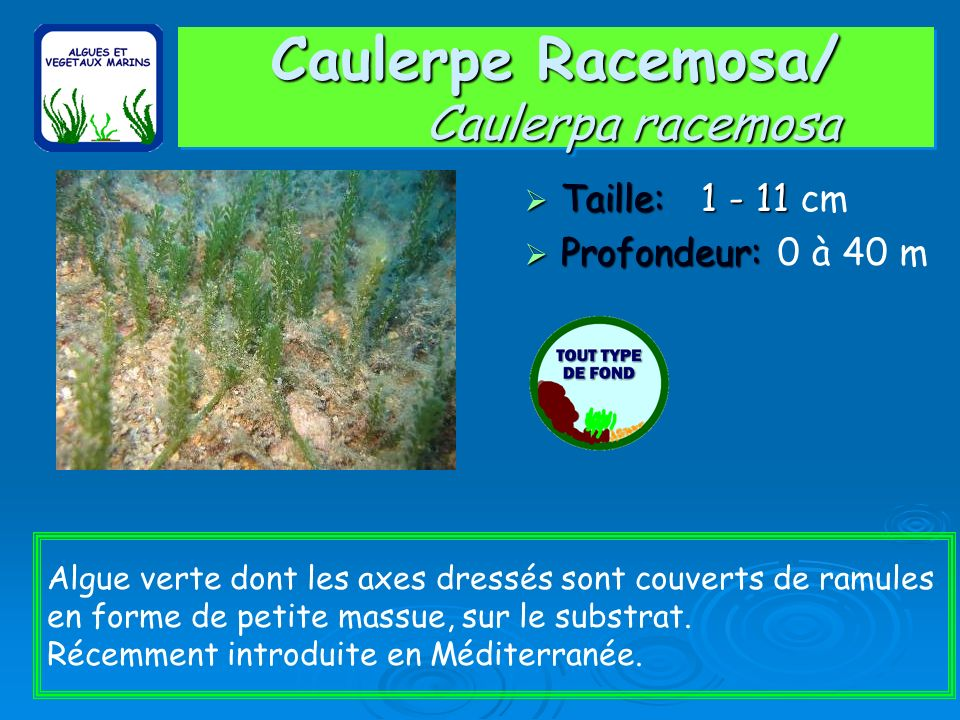 Caulerpe Racemosa/ Caulerpa racemosa Taille: 1 - 11 Taille: 1 - 11 cm Profondeur: Profondeur: 0 à 40 m Algue verte dont les axes dressés sont couverts