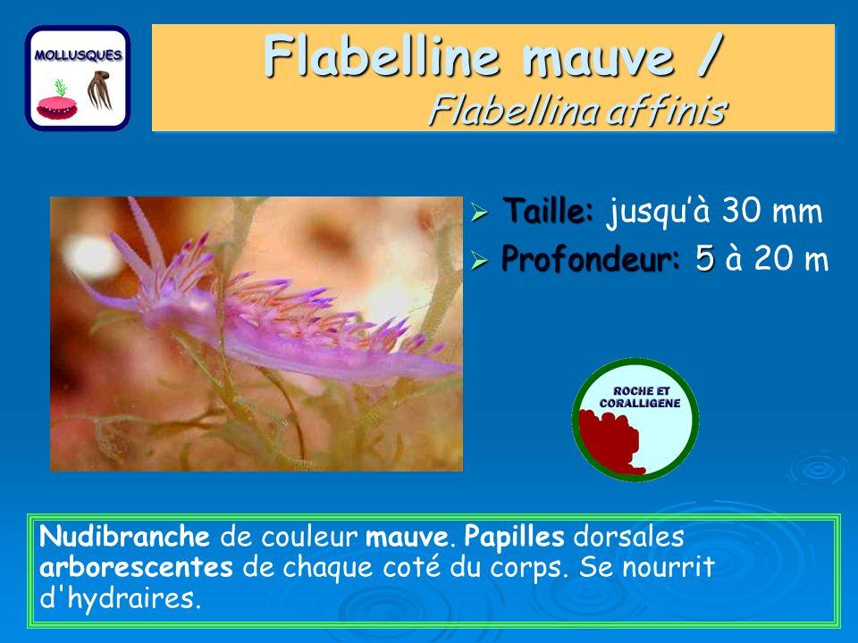 Flabelline mauve / Flabellina affinis Taille: Taille: jusquà 30 mm Profondeur: 5 Profondeur: 5 à 20 m Nudibranche de couleur mauve. Papilles dorsales