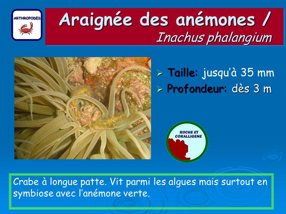 Araignée des anémones / Inachus phalangium Taille: Taille: jusquà 35 mm Profondeur: dès 3 m Profondeur: dès 3 m Crabe à longue patte. Vit parmi les al