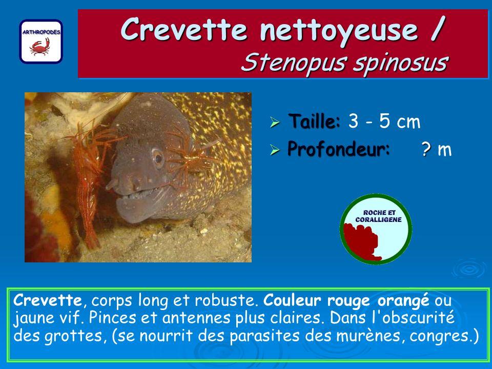 Crevette nettoyeuse / Stenopus spinosus Taille: Taille: 3 - 5 cm Profondeur: ? Profondeur: ? m Crevette, corps long et robuste. Couleur rouge orangé o