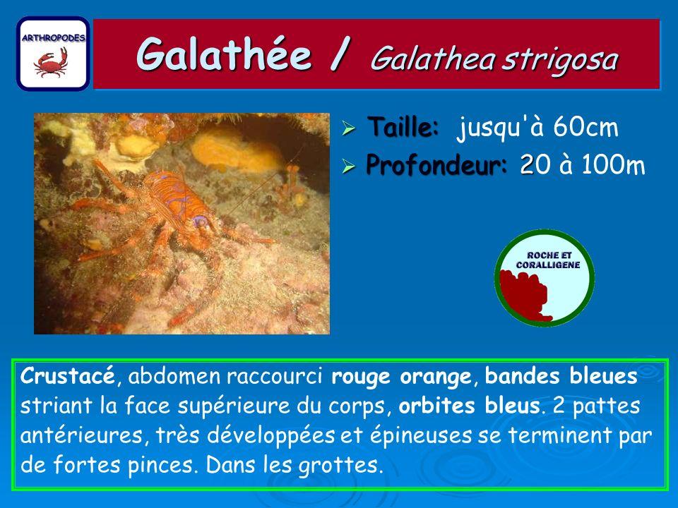 Galathée / Galathea strigosa Taille: Taille: jusqu'à 60cm Profondeur: 2 Profondeur: 20 à 100m Crustacé, abdomen raccourci rouge orange, bandes bleues