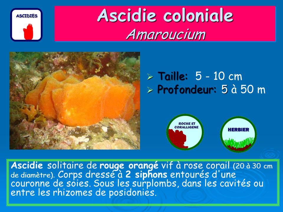 Ascidie coloniale Amaroucium Taille: Taille: 5 - 10 cm Profondeur: 5 Profondeur: 5 à 50 m Ascidie solitaire de rouge orangé vif à rose corail (20 à 30