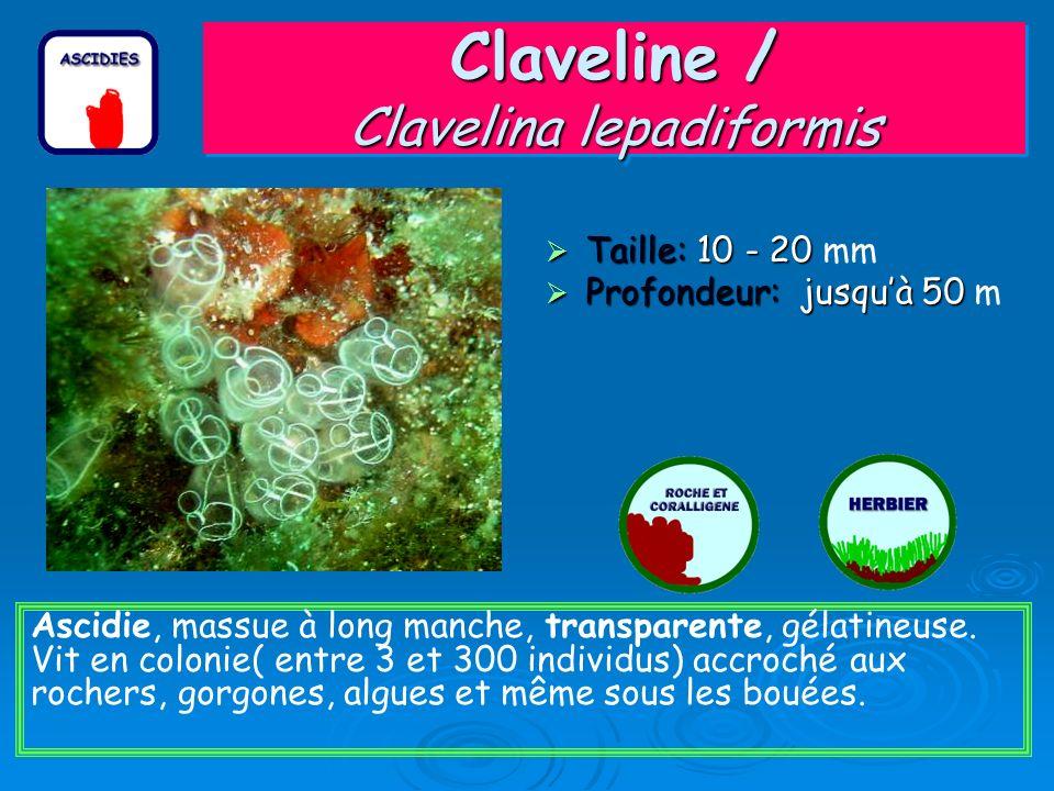 Claveline / Clavelina lepadiformis Taille: 10 - 20 Taille: 10 - 20 mm Profondeur: jusquà 50 Profondeur: jusquà 50 m Ascidie, massue à long manche, tra