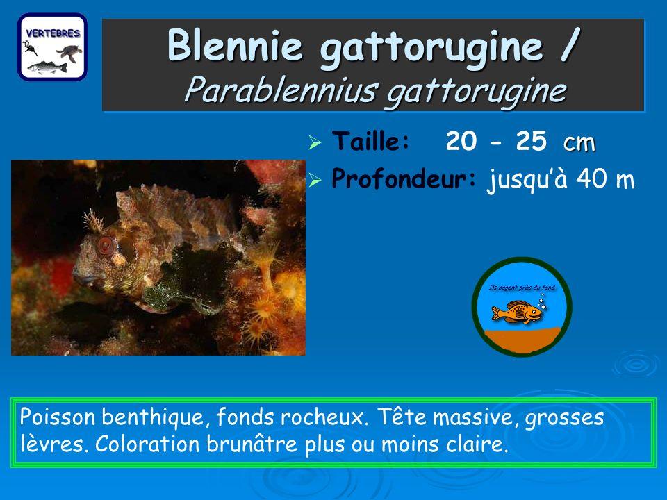 Blennie gattorugine / Parablennius gattorugine cm Taille: 20 - 25 cm Profondeur: jusquà 40 m Poisson benthique, fonds rocheux. Tête massive, grosses l