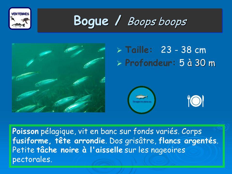 Bogue / Boops boops Taille: 23 - 38 cm à 30 m Profondeur: 5 à 30 m Poisson pélagique, vit en banc sur fonds variés. Corps fusiforme, tête arrondie. Do