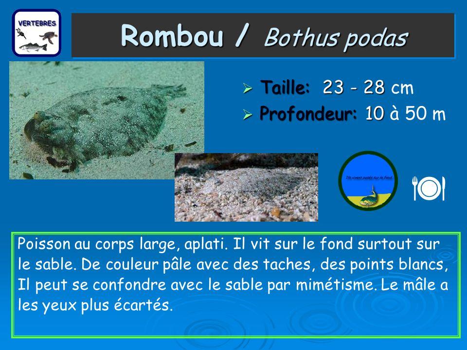 Rombou / Bothus podas Taille: 23 - 28 Taille: 23 - 28 cm Profondeur: 10 Profondeur: 10 à 50 m Poisson au corps large, aplati. Il vit sur le fond surto