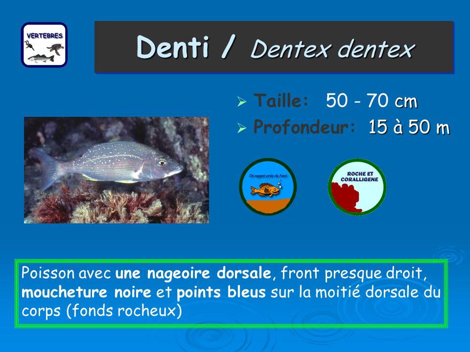 Denti / Dentex dentex cm Taille: 50 - 70 cm 15 à 50 m Profondeur: 15 à 50 m Poisson avec une nageoire dorsale, front presque droit, moucheture noire e