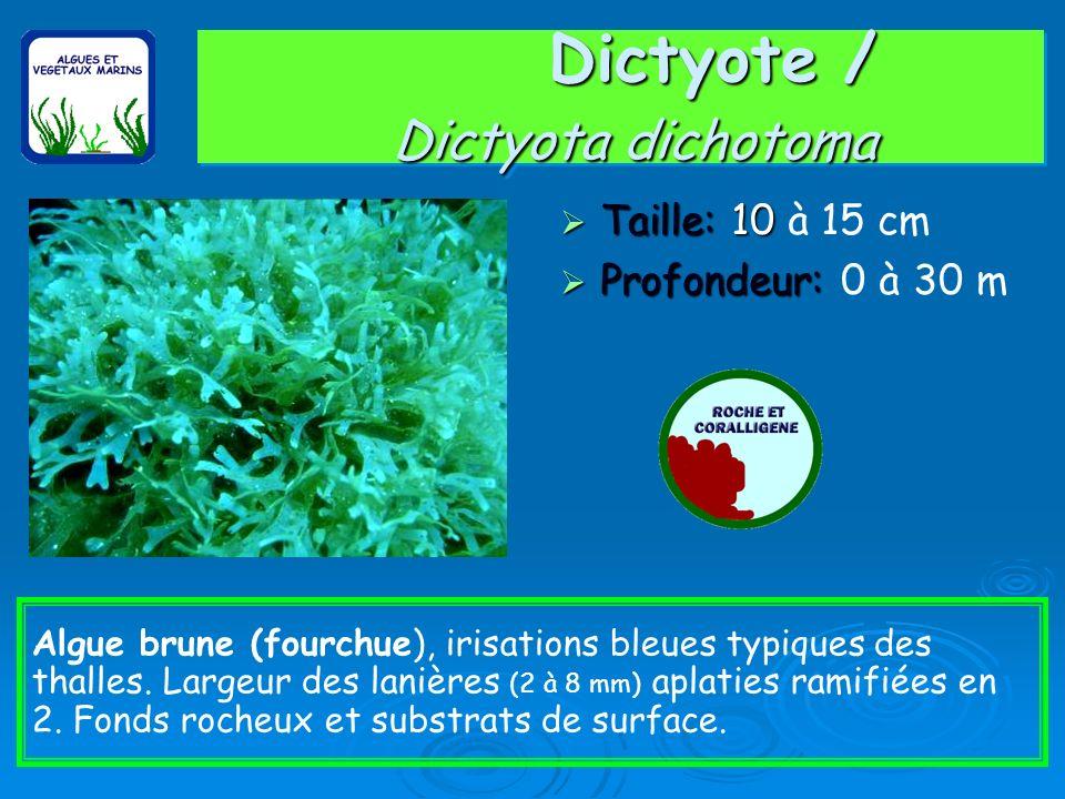 Dictyote / Dictyota dichotoma Taille: 10 Taille: 10 à 15 cm Profondeur: Profondeur: 0 à 30 m Algue brune (fourchue), irisations bleues typiques des th