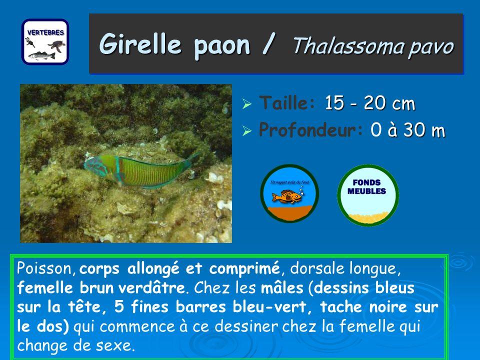 Girelle paon / Thalassoma pavo 15 - 20 cm Taille: 15 - 20 cm à 30 m Profondeur: 0 à 30 m Poisson, corps allongé et comprimé, dorsale longue, femelle b