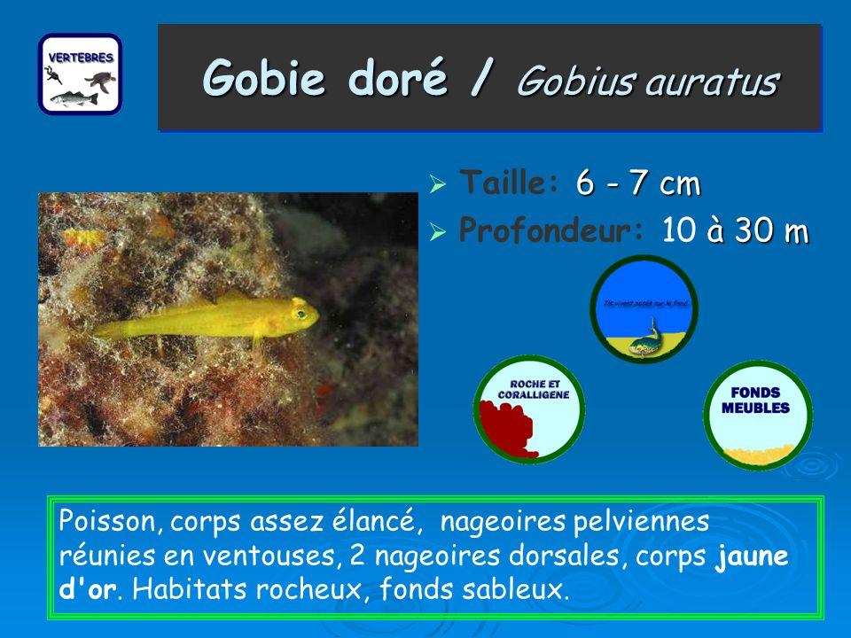 Gobie doré / Gobius auratus 6 - 7 cm Taille: 6 - 7 cm à 30 m Profondeur: 10 à 30 m Poisson, corps assez élancé, nageoires pelviennes réunies en ventou