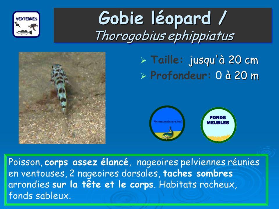 Gobie léopard / Thorogobius ephippiatus jusqu'à 20 cm Taille: jusqu'à 20 cm à 20 m Profondeur: 0 à 20 m Poisson, corps assez élancé, nageoires pelvien