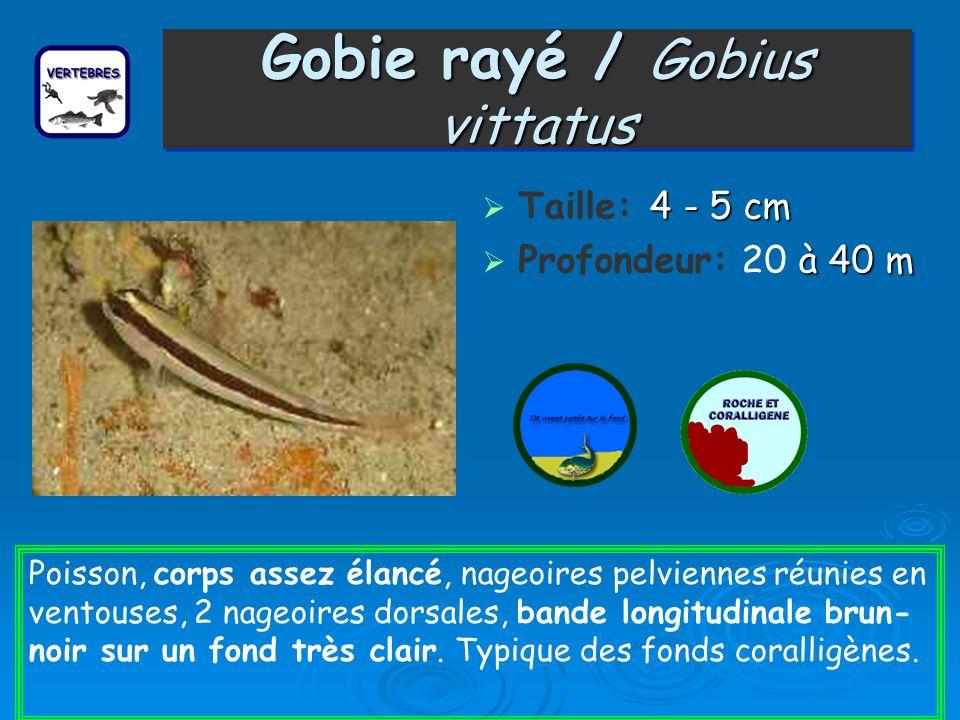 Gobie rayé / Gobius vittatus 4 - 5 cm Taille: 4 - 5 cm à 40 m Profondeur: 20 à 40 m Poisson, corps assez élancé, nageoires pelviennes réunies en vento