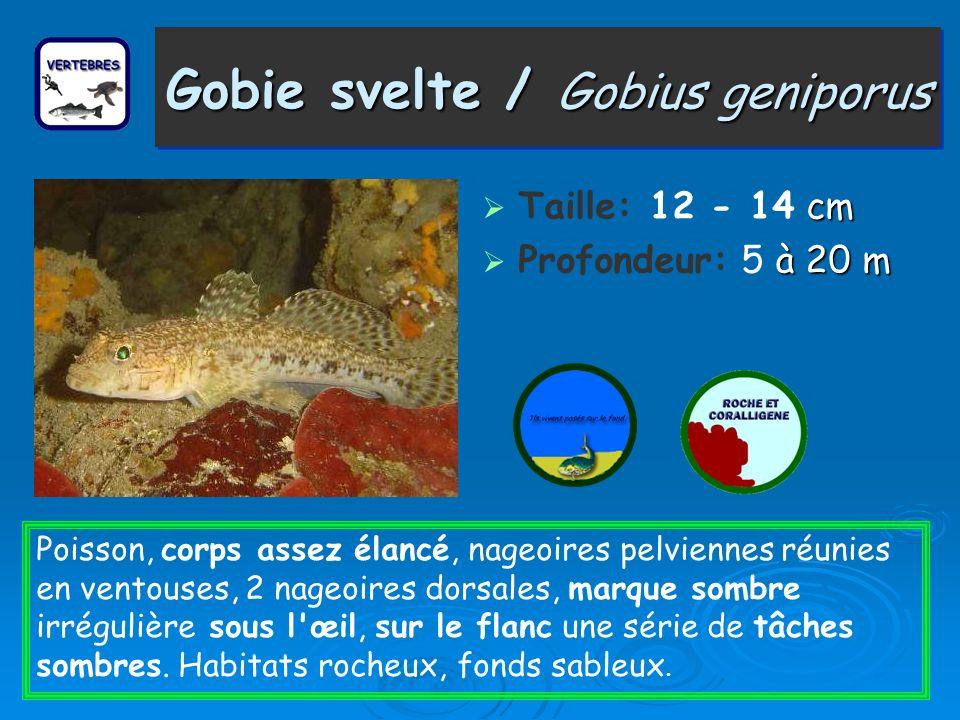 Gobie svelte / Gobius geniporus cm Taille: 12 - 14 cm à 20 m Profondeur: 5 à 20 m Poisson, corps assez élancé, nageoires pelviennes réunies en ventous