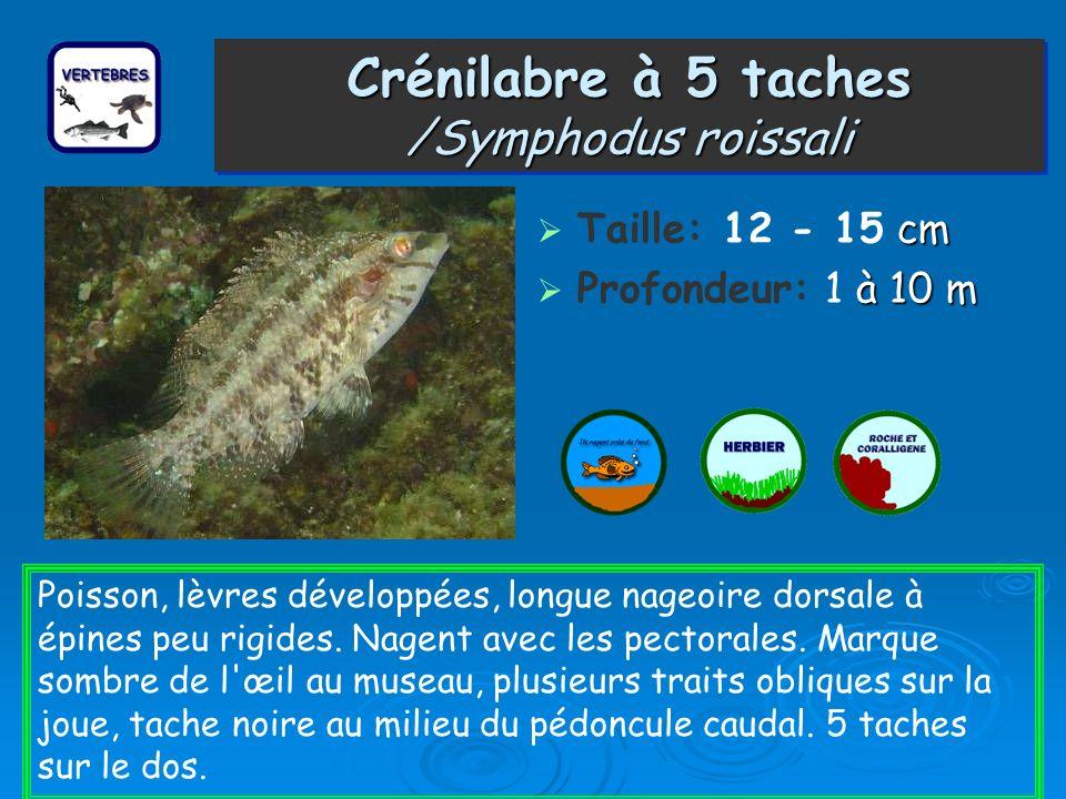 Crénilabre à 5 taches /Symphodus roissali cm Taille: 12 - 15 cm à 10 m Profondeur: 1 à 10 m Poisson, lèvres développées, longue nageoire dorsale à épi