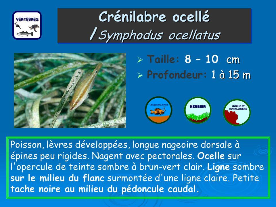 Crénilabre ocellé / Symphodus ocellatus cm Taille: 8 – 10 cm à 15 m Profondeur: 1 à 15 m Poisson, lèvres développées, longue nageoire dorsale à épines