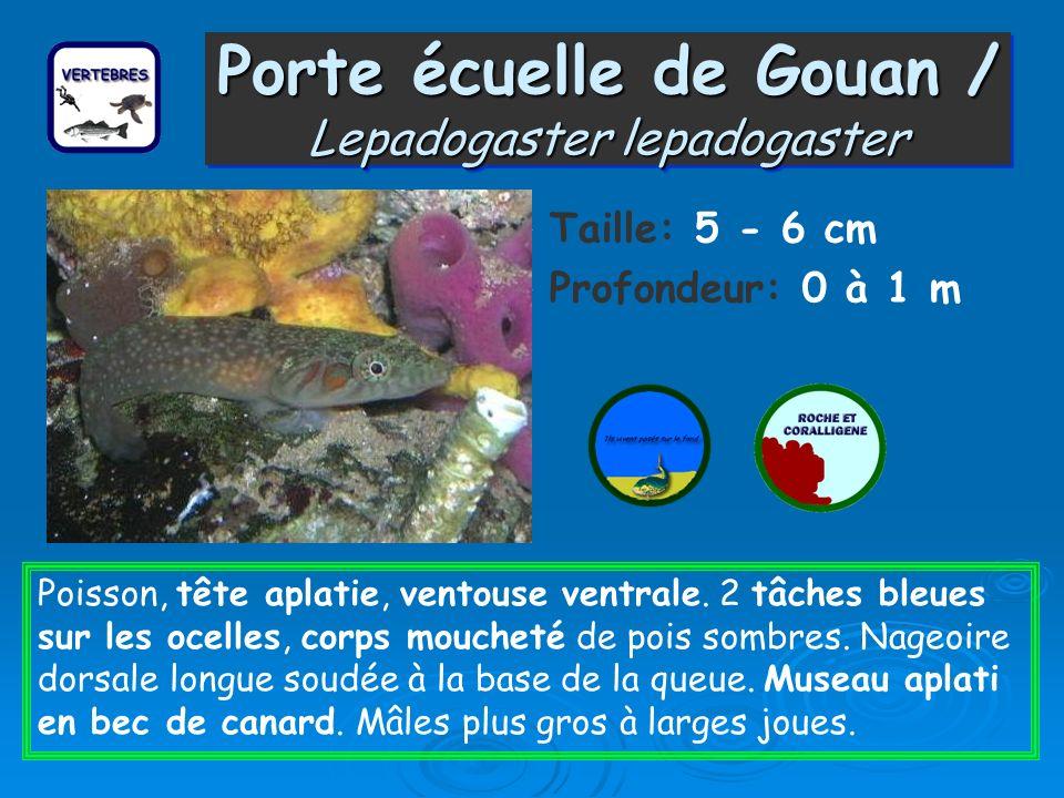 Porte écuelle de Gouan / Lepadogaster lepadogaster Taille: 5 - 6 cm Profondeur: 0 à 1 m Poisson, tête aplatie, ventouse ventrale. 2 tâches bleues sur