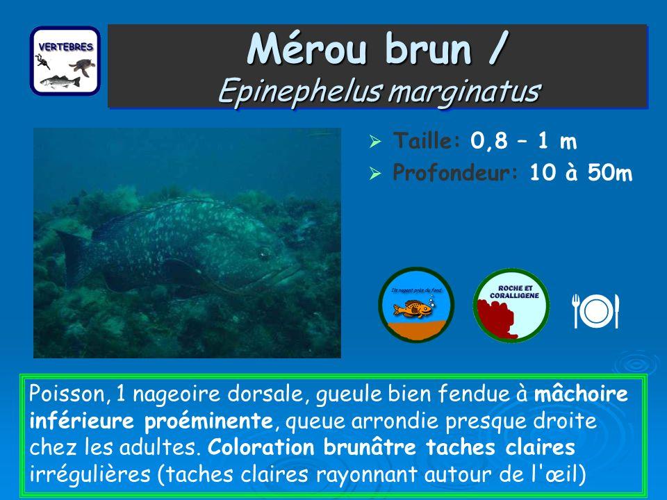 Mérou brun / Epinephelus marginatus Taille: 0,8 – 1 m Profondeur: 10 à 50m Poisson, 1 nageoire dorsale, gueule bien fendue à mâchoire inférieure proém