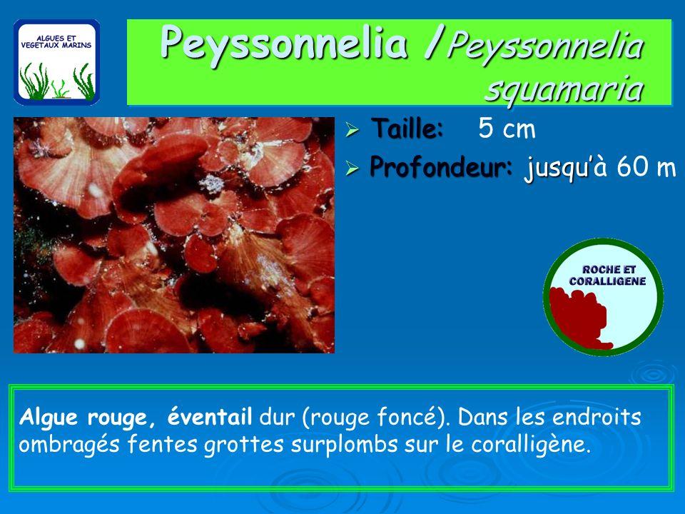 Peyssonnelia / Peyssonnelia squamaria Taille: Taille: 5 cm Profondeur: jusqu Profondeur: jusquà 60 m Algue rouge, éventail dur (rouge foncé). Dans les