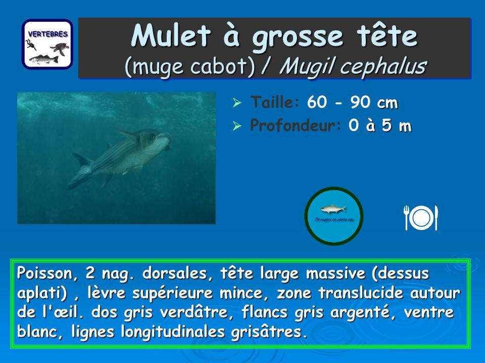 Mulet à grosse tête (muge cabot) / Mugil cephalus cm Taille: 60 - 90 cm à 5 m Profondeur: 0 à 5 m Poisson, 2 nag. dorsales, tête large massive (dessus