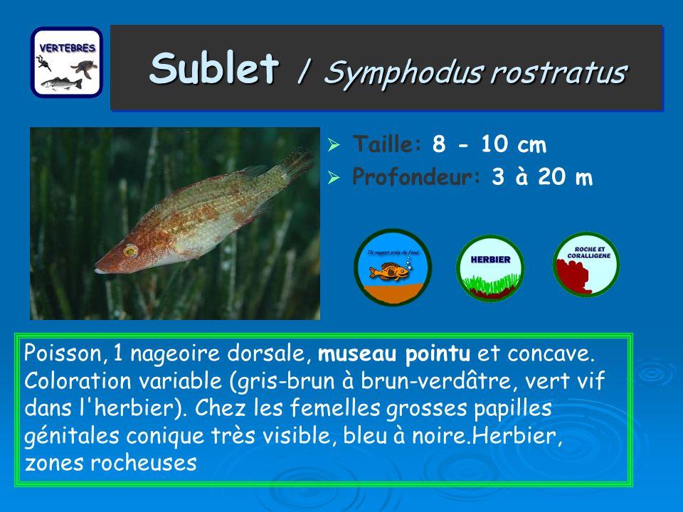 Sublet / Symphodus rostratus Taille: 8 - 10 cm Profondeur: 3 à 20 m Poisson, 1 nageoire dorsale, museau pointu et concave. Coloration variable (gris-b