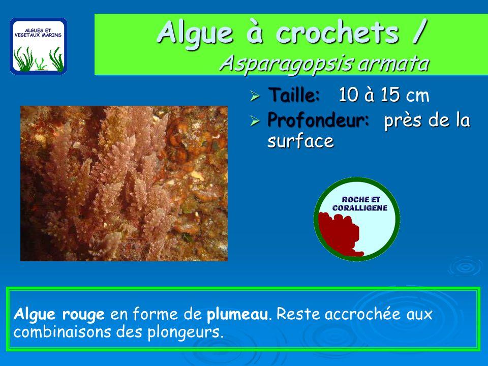 Algue à crochets / Asparagopsis armata Taille: 10 à 15 Taille: 10 à 15 cm Profondeur: près de la surface Profondeur: près de la surface Algue rouge en