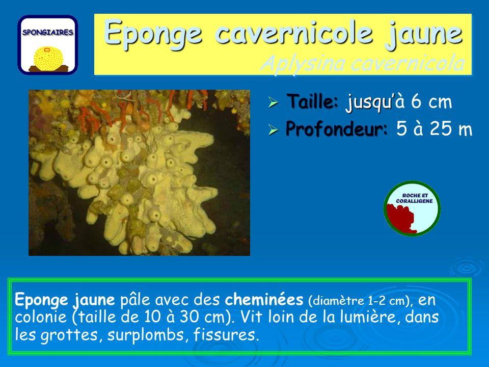 Eponge cavernicole jaune Eponge cavernicole jaune Aplysina cavernicola Taille: jusqu Taille: jusquà 6 cm Profondeur: Profondeur: 5 à 25 m Eponge jaune