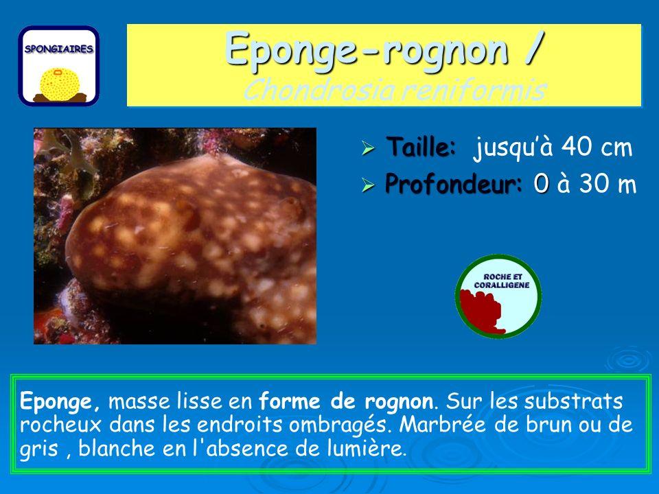 Eponge-rognon / Eponge-rognon / Chondrosia reniformis Taille: Taille: jusquà 40 cm Profondeur: 0 Profondeur: 0 à 30 m Eponge, masse lisse en forme de