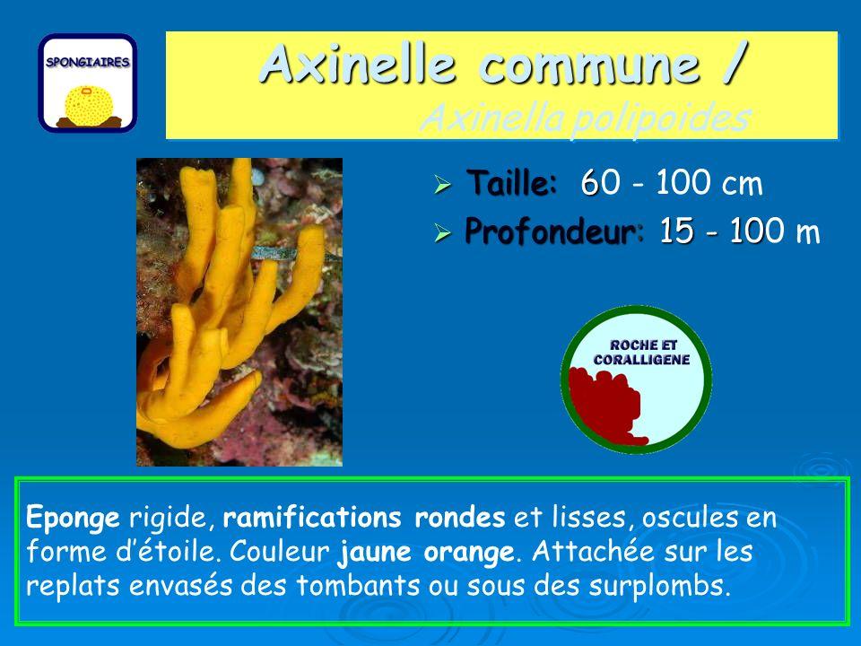 Axinelle commune / Axinelle commune / Axinella polipoides Taille: 6 Taille: 60 - 100 cm Profondeur: 15 - 10 Profondeur: 15 - 100 m Eponge rigide, rami