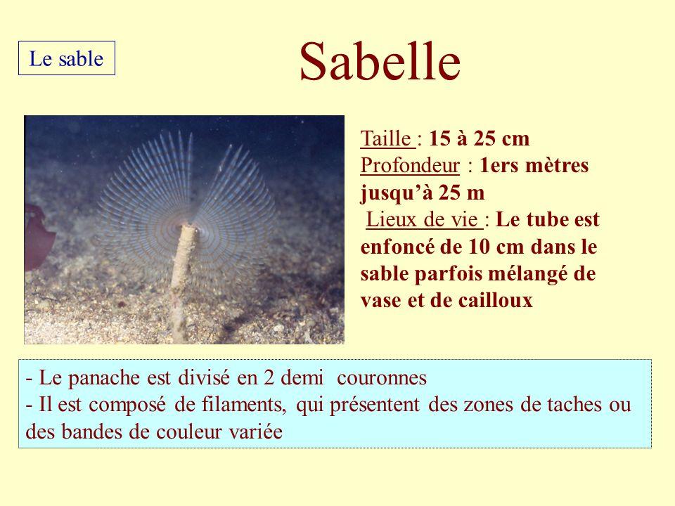 Taille : 15 à 25 cm Profondeur : 1ers mètres jusquà 25 m Lieux de vie : Le tube est enfoncé de 10 cm dans le sable parfois mélangé de vase et de caill
