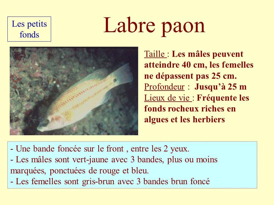 Taille : Les mâles peuvent atteindre 40 cm, les femelles ne dépassent pas 25 cm. Profondeur : Jusquà 25 m Lieux de vie : Fréquente les fonds rocheux r