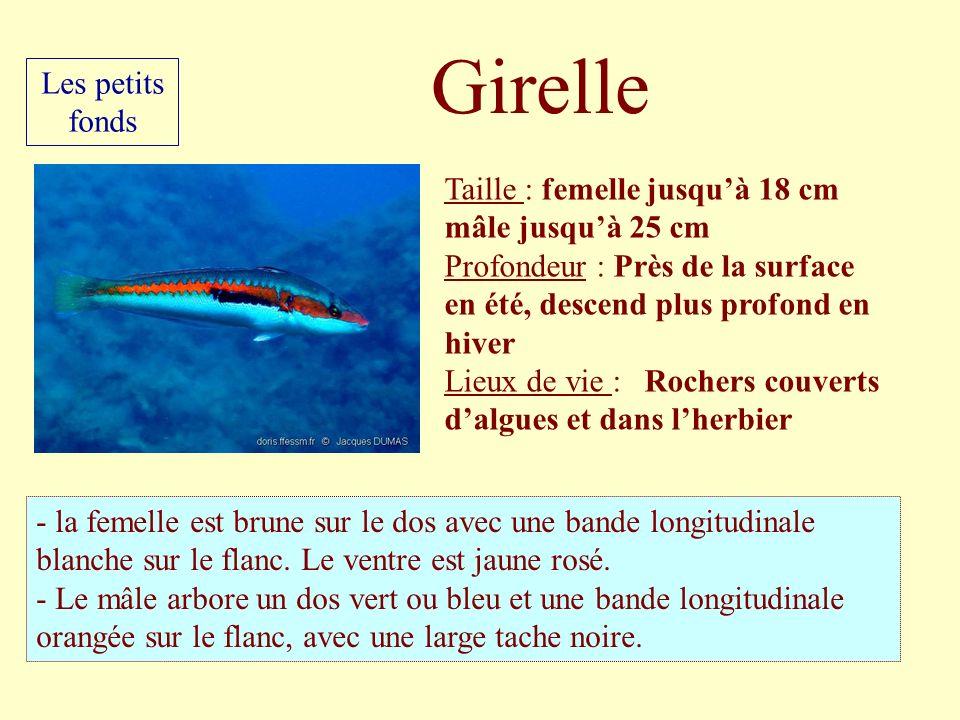 Taille : femelle jusquà 18 cm mâle jusquà 25 cm Profondeur : Près de la surface en été, descend plus profond en hiver Lieux de vie : Rochers couverts
