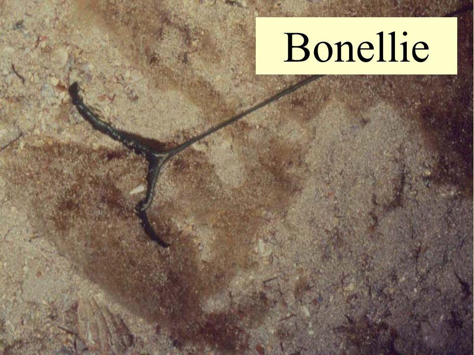 11 Bonellie