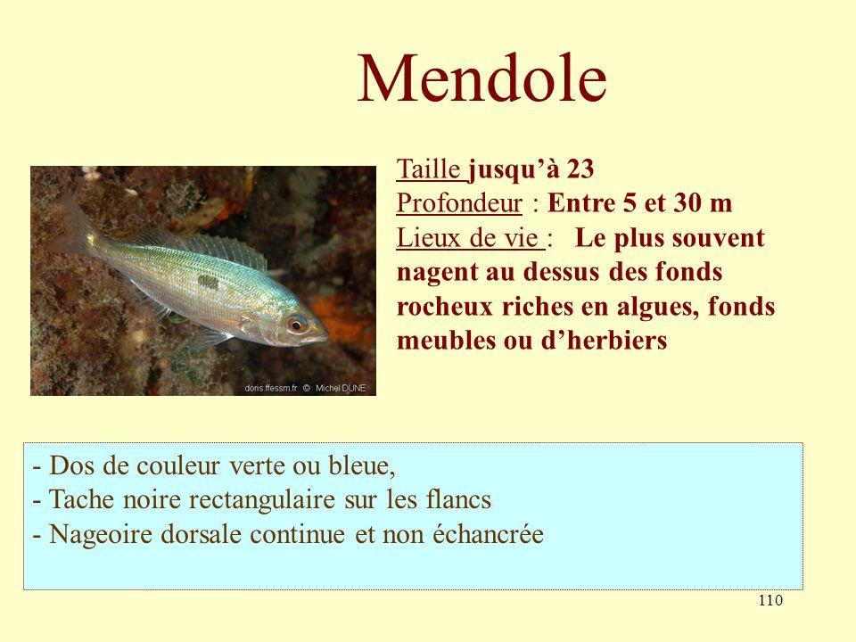 110 Taille jusquà 23 Profondeur : Entre 5 et 30 m Lieux de vie : Le plus souvent nagent au dessus des fonds rocheux riches en algues, fonds meubles ou