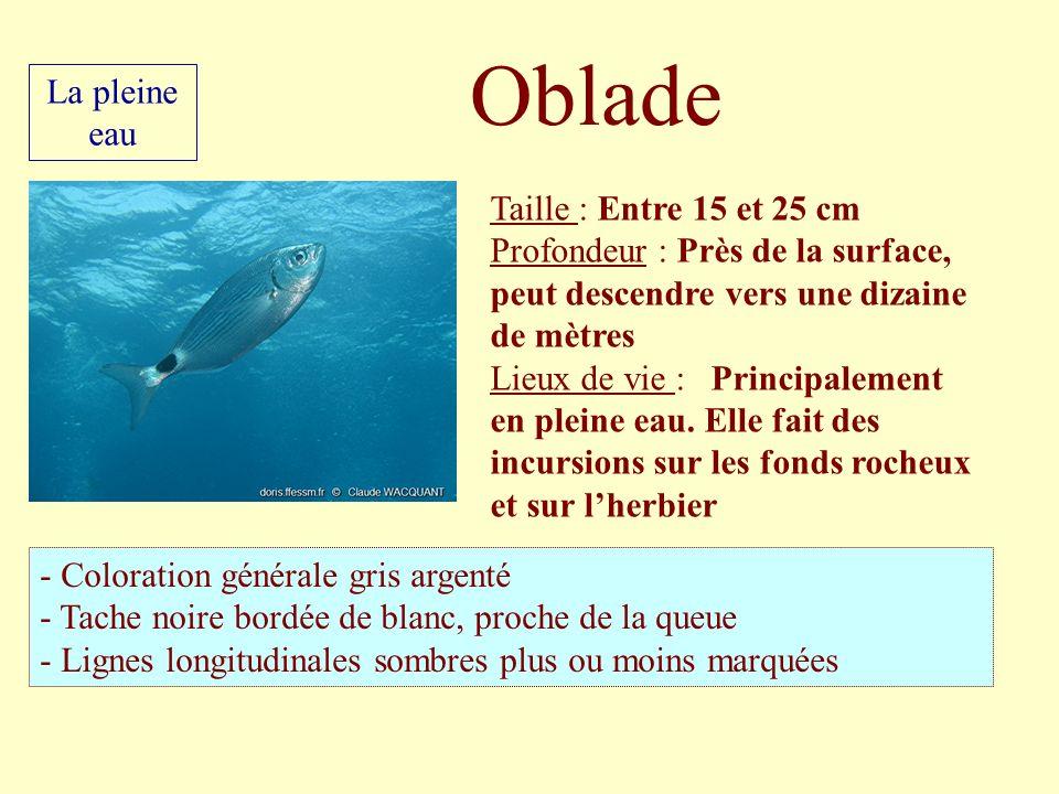Taille : Entre 15 et 25 cm Profondeur : Près de la surface, peut descendre vers une dizaine de mètres Lieux de vie : Principalement en pleine eau. Ell