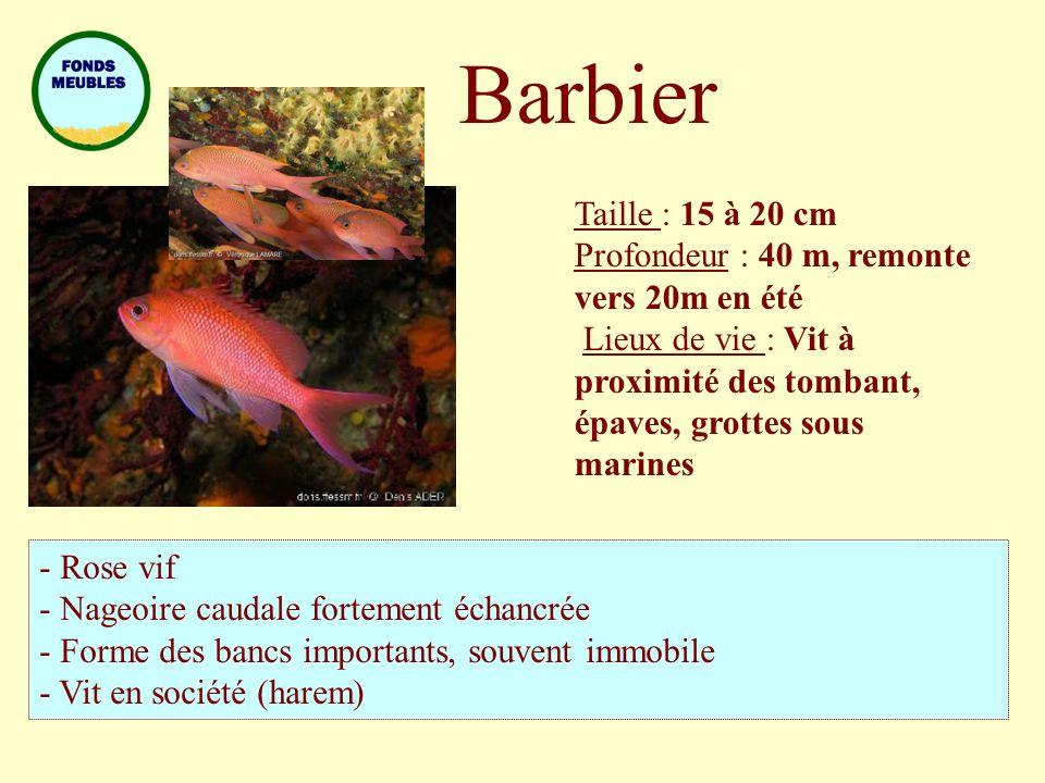 Barbier Taille : 15 à 20 cm Profondeur : 40 m, remonte vers 20m en été Lieux de vie : Vit à proximité des tombant, épaves, grottes sous marines - Rose