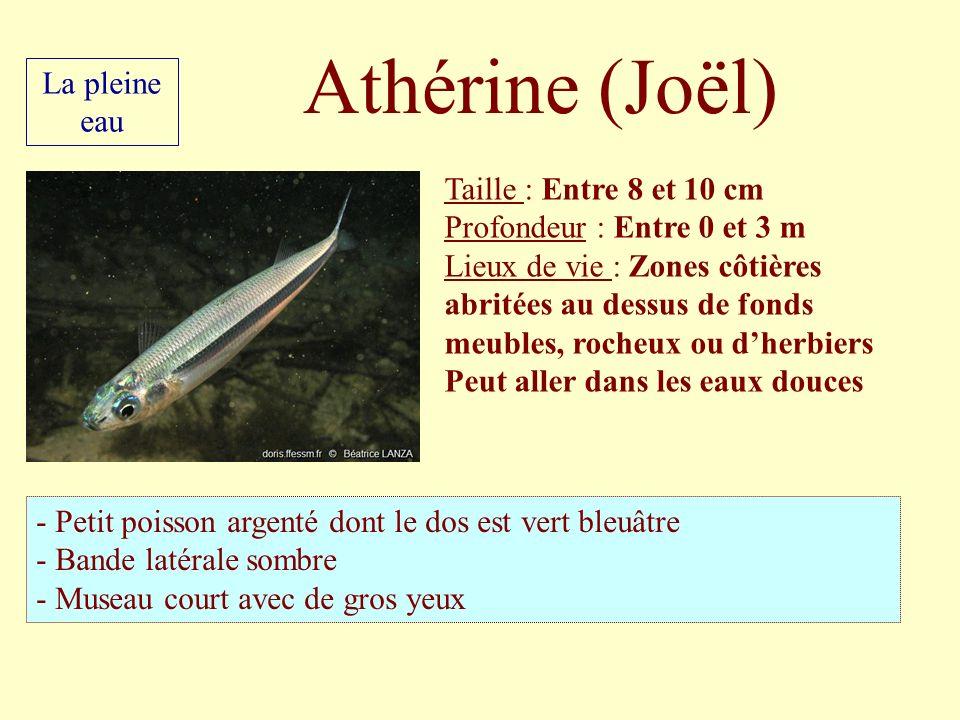 Athérine (Joël) Taille : Entre 8 et 10 cm Profondeur : Entre 0 et 3 m Lieux de vie : Zones côtières abritées au dessus de fonds meubles, rocheux ou dh