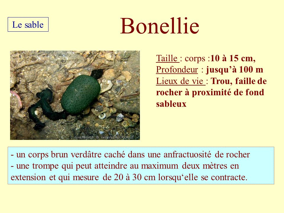 Taille : corps :10 à 15 cm, Profondeur : jusquà 100 m Lieux de vie : Trou, faille de rocher à proximité de fond sableux - un corps brun verdâtre caché