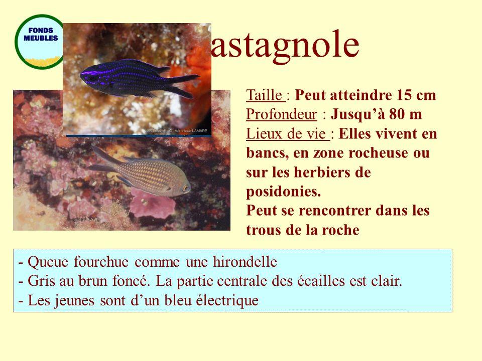 Castagnole Taille : Peut atteindre 15 cm Profondeur : Jusquà 80 m Lieux de vie : Elles vivent en bancs, en zone rocheuse ou sur les herbiers de posido