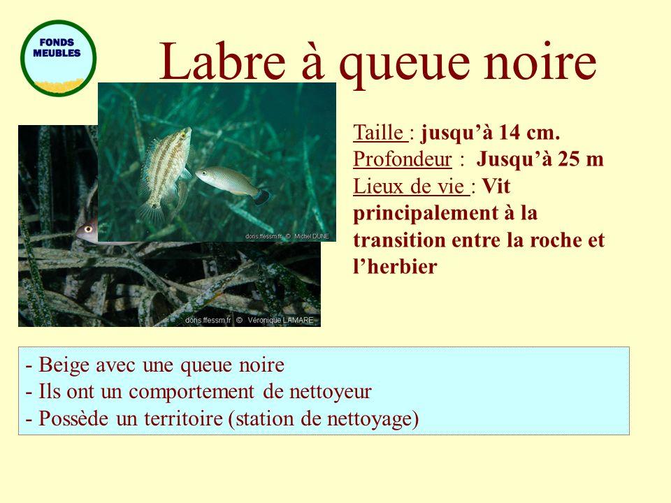 Labre à queue noire Taille : jusquà 14 cm. Profondeur : Jusquà 25 m Lieux de vie : Vit principalement à la transition entre la roche et lherbier - Bei
