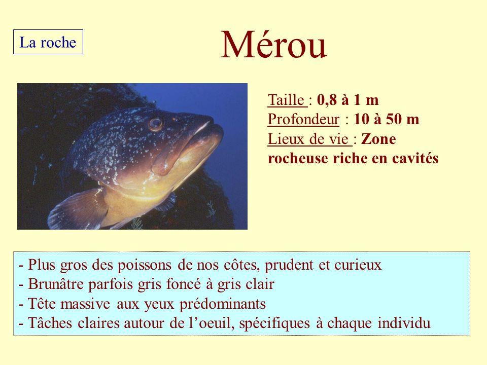 Taille : 0,8 à 1 m Profondeur : 10 à 50 m Lieux de vie : Zone rocheuse riche en cavités - Plus gros des poissons de nos côtes, prudent et curieux - Br